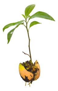 381px-Avocado_Seedling